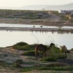 Zen Surf Morocco Banana Beach camels